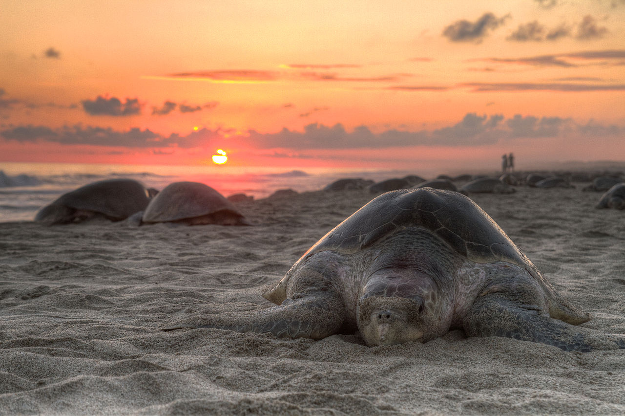 A turtle walking on a beach at sunset is shown.