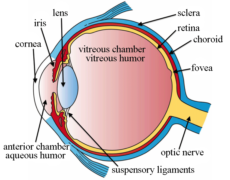 The basic structure of the eye with the three main layers visible.